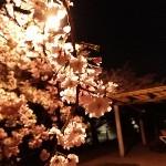 夜桜を見る